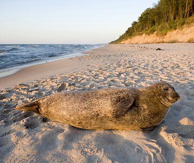 Wakacje 2020. Turyści fotografują foki na plaży, zamiast dać im spokój