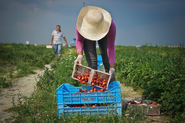 Nie ma komu zbierać truskawek. Ludzi do pracy trzeba szukać w dalekiej Azji