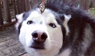 Husky, motyl i 14 mln wyświetleń. Suczka Cymber w dwa dni stała się fenomenem