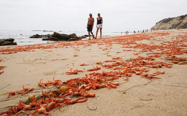 Tysiące martwych krabów na plażach w Kalifornii