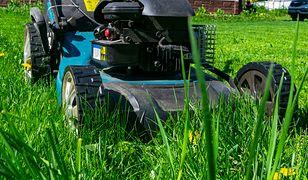 Zdrowa, soczyście zielona trawa. Zajmij się trawnikiem jak należy