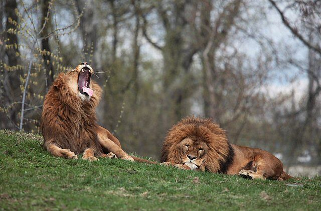 Lwy w warszawskim zoo