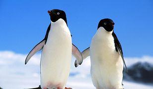 Warszawskiemu pingwinowi złamał się dziób. Dostanie nowy z drukarki 3D!