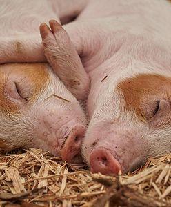 Wieżowiec tylko dla świń. Chińczycy otworzą im hotel