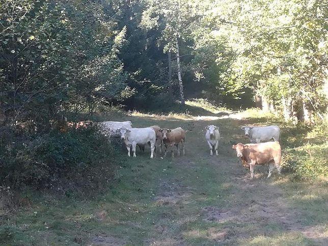 """Stado krów terroryzuje gminę Lądek Zdrój. """"Włamały się do ogrodu i wyjadły kapustę"""""""