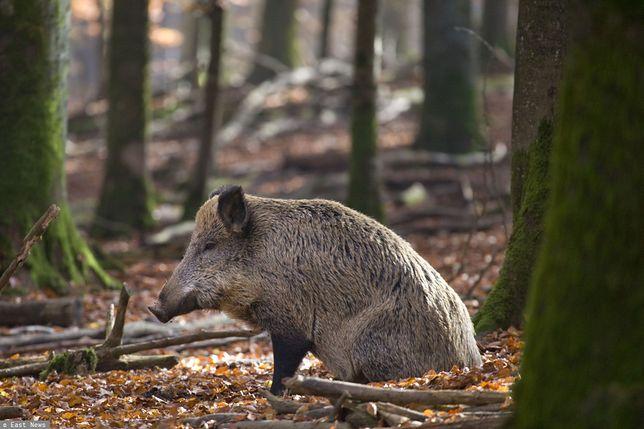ASF – kolejne martwe dziki znalezione w Lubuskiem. Hodowcy apelują do premiera Mateusza Morawieckiego o podjęcie nadzwyczajnych działań.