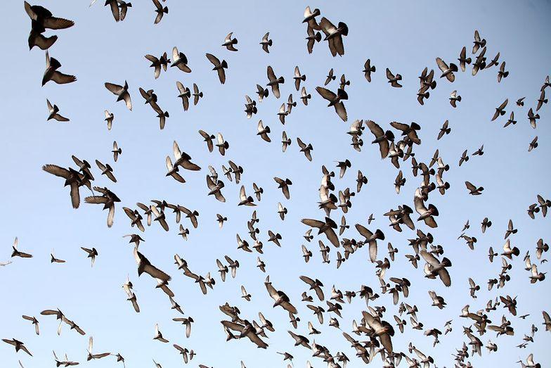 Tysiące martwych gołębi spadało z nieba. Hodowcy boją się powtórki z katastrofy