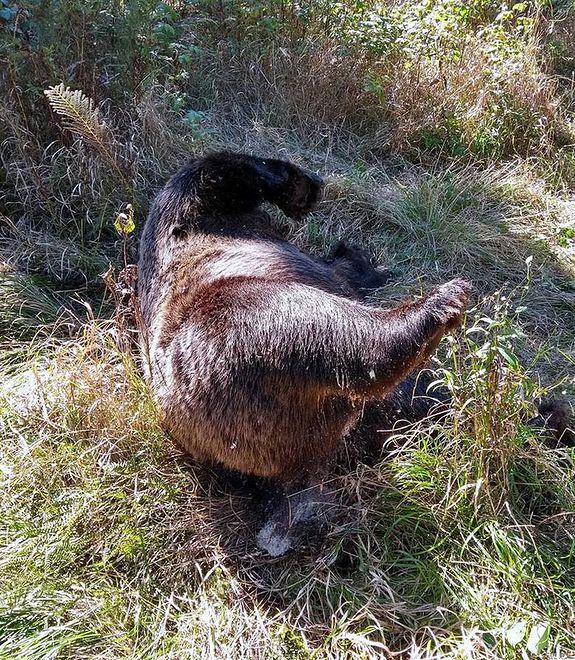 Truchło niedźwiedzia brunatnego ze słowackiego Tatrzańskiego Parku Narodowego.
