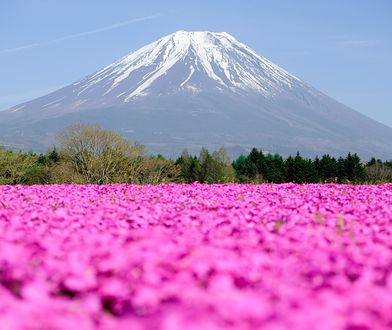 Drobne kwiatki zakwitają na wyspie Honsiu wiosną. W tle majestatyczna góra Fudżi