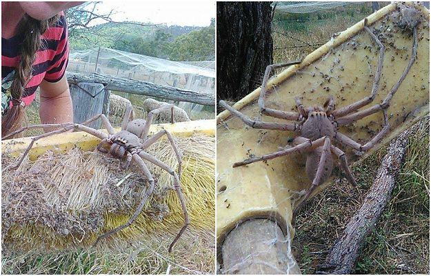 Sfotografowano najprawdopodobniej jednego z największych pająków na świecie