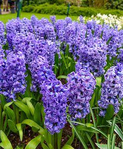 Hiacynt – kwiat zwiastujący wiosnę. Jak go uprawiać, żeby pięknie kwitł?