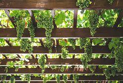 Zielona pergola: winorośl