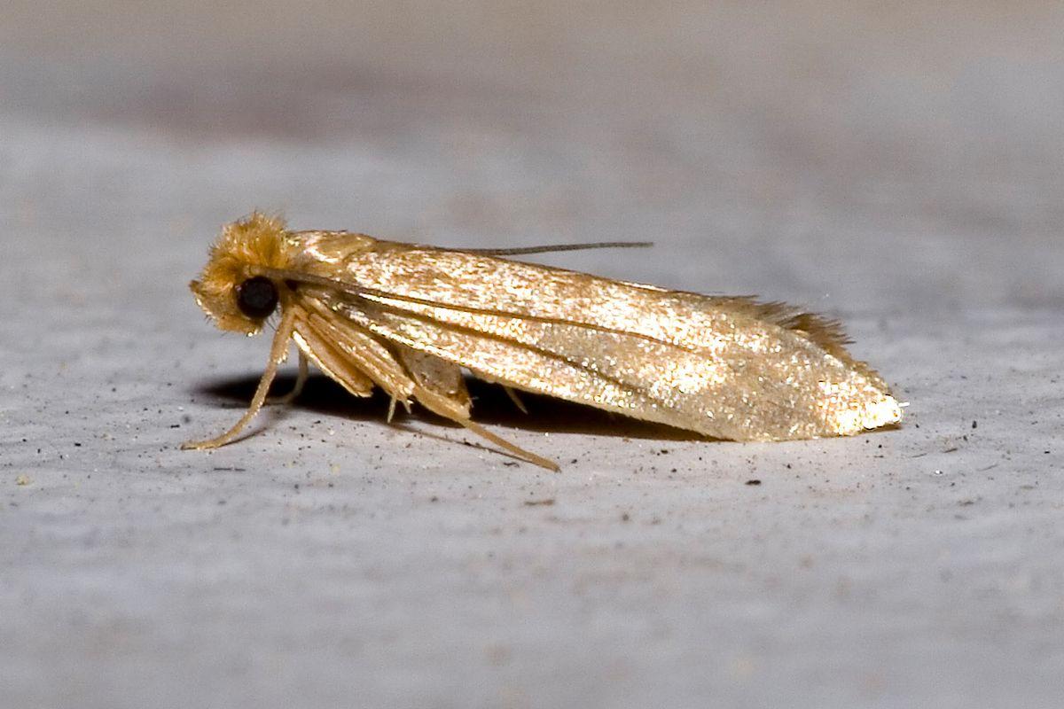 Namolne owady. Szybkie i skuteczne sposoby na mole odzieżowe i spożywcze