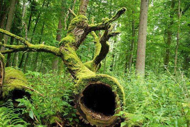 Plan wycinki Puszczy Białowieskiej czeka na podpis ministra środowiska