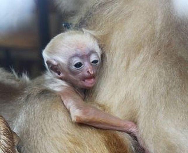 W zoo urodził się gibonek!