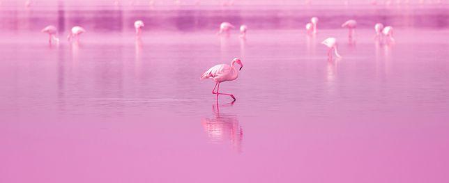 Flamingi na różowym jeziorze
