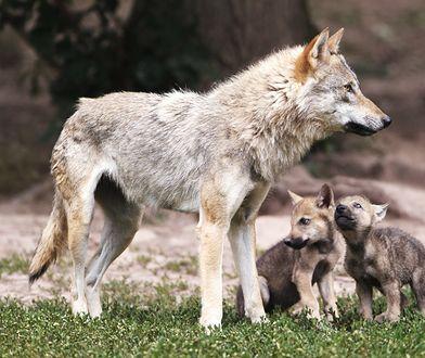 Zabrali szczenię wilka z lasu. Pomylili je z psem