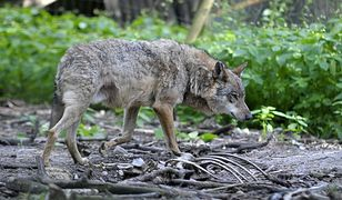 Zastrzelił najbardziej znanego wilka z Roztocza. Policja ustaliła sprawcę