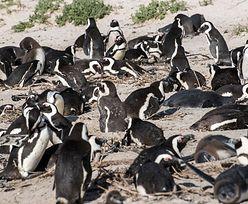 Atak pszczół. Nie żyją 63 pingwiny