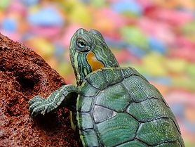 Surowy żółw zielony