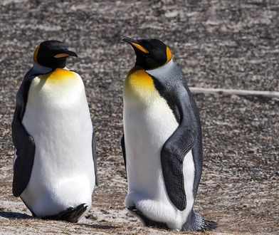 Naukowcy od wielu dekad obserwują zachowania homoseksualne u zwierząt