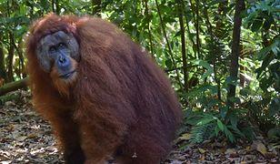 Spotkanie z samcem orangutana to nie lada przeżycie
