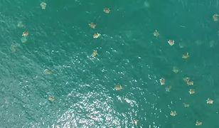 Żółwie nieopodal plaży Ostional na Kostaryce