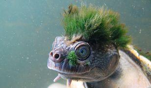 """Żółw ma bardzo ciekawą """"fryzurę"""""""