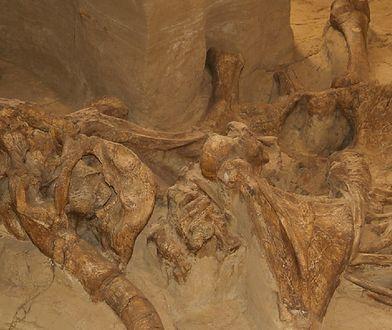 Rosja. Naukowcy odkryli kości mamuta. Mają przynajmniej 10 tysięcy lat