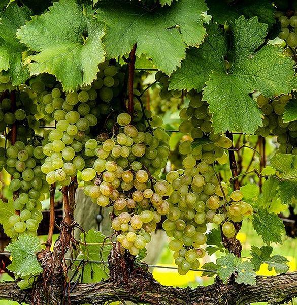 Nadziewane liście winogron