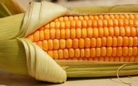 Ustawy o GMO. Sejm poparł poprawki Senatu do nowelizacji