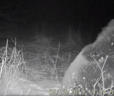 Złapany w fotopułapkę niedźwiedź wieczorową porą. Dosłownie słaniał się na łapach
