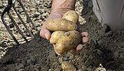 Kasza spycha kartofla z talerza Kowalskiego