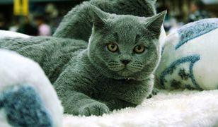 W grudniu Międzynarodowa Wystawa Kotów Rasowych na Ursynowie