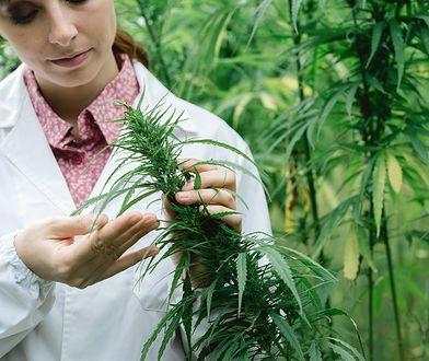 Medyczna marihuana na bóle menstruacyjne? W USA trwa debata