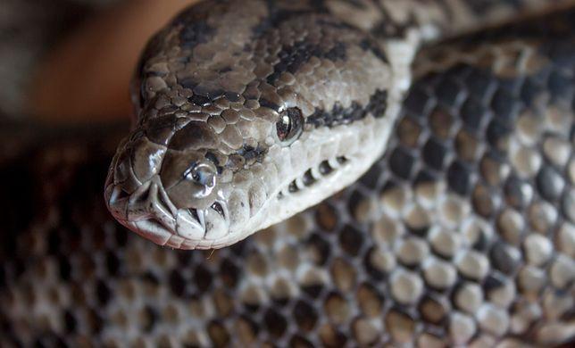 Nielegalna hodowla węży w mieszkaniu w Kluczach
