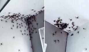 Przerażający widok. Matka odkryła skupisko pająków w sypialni córki