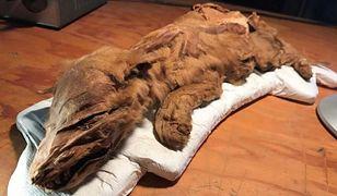 Mumia wilka z epoki lodowcowej. Zwierzę żyło co najmniej 50 tys. lat temu