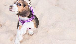 Psy można wyprowadzać na plażę