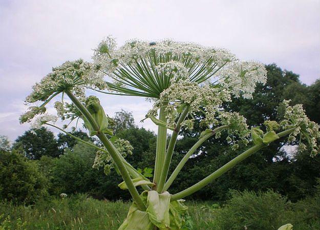 Kwitnie groźny barszcz Sosnowskiego. Toksyczna roślina powoduje poparzenia
