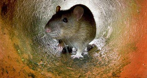 Tam snajperzy polują na szczury!