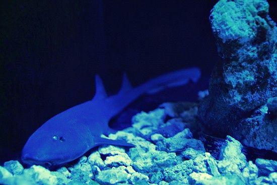 Arabski rekin dywanowy