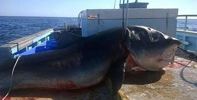 Zdjęcie złowionego 6-metrowego rekina wywołało falę spekulacji