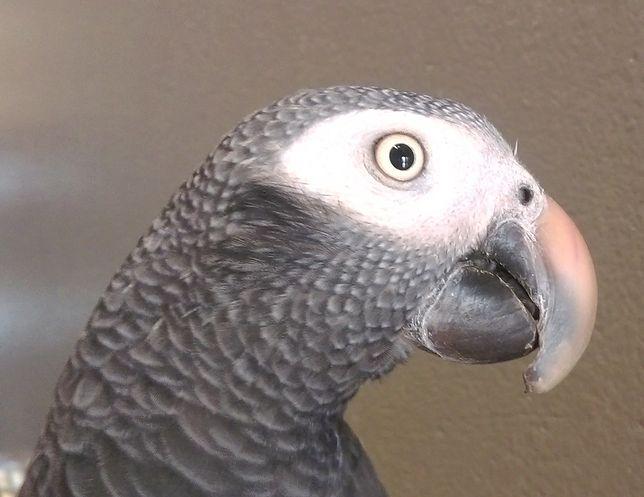 Eko Patrol: papuga żako odwiedziła pub na Mariensztacie
