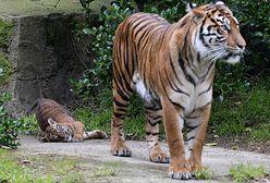 """Poznań. Nie żyje tygrys Gideon uratowany z nielegalnej hodowli. """"Nie doczekał końca procesu"""""""