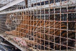 Tygrysy uwięzione w klatkach. W akcji wyładunku bierze udział policja z długą bronią