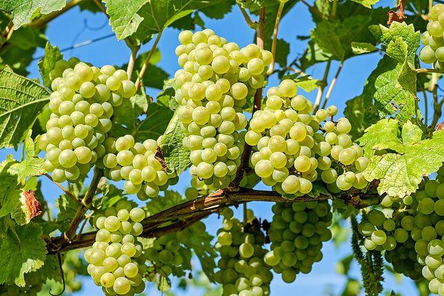Domowe wino najczęściej przygotowuje się z winogron