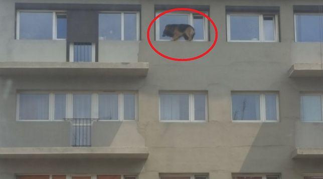 Pies na parapecie trząsł się ze strachu