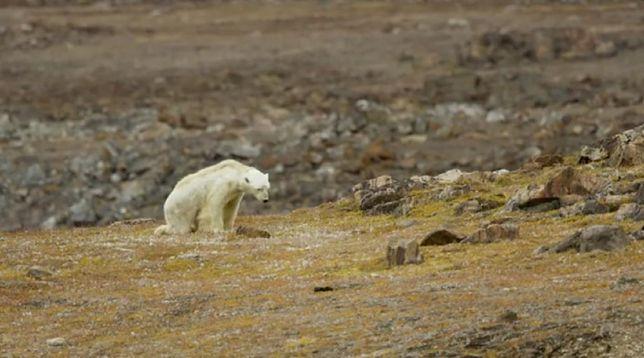 Wycieńczony głodem niedźwiedź polarny na Ziemi Baffina.