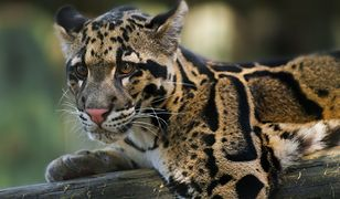 Chińskie zoo milczało po ucieczce 3 lampartów. Jeden z nich nadal jest na wolności
